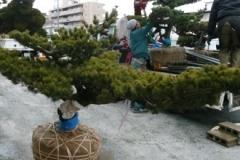 2012_pinus6
